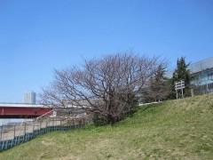 桜はまだ…