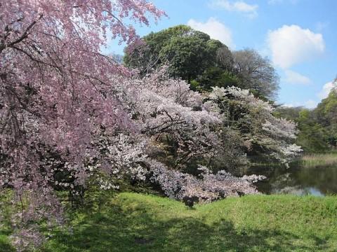 色の濃い桜は、ヤエベニシダレ