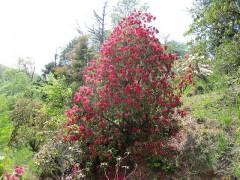 木全体が花に覆われる