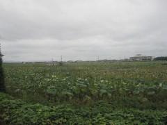 広大なサトイモ畑