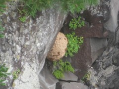 スズメバチの巣??