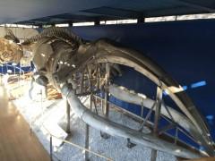 セミクジラの全身骨格