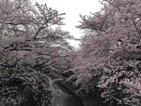 桜に囲まれていると…