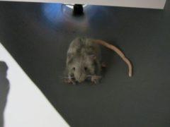 マンホールのなかにはネズミが…