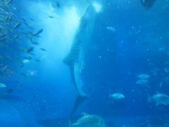 ジンベイザメの食事シーン