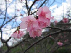 桜まつりは来週から…