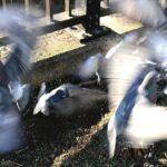 ものすごい数の鳩たち