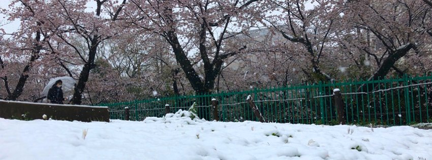 満開の後に積雪なんて…