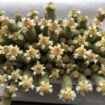 やたら咲いてるサボテンの花